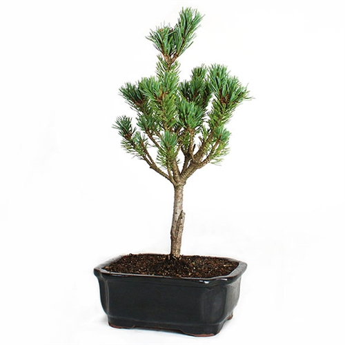 Miniature White Pine Bonsai
