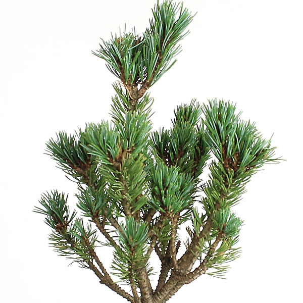 Miraculous Miniature White Pine Bonsai Wiring Cloud Pendufoxcilixyz