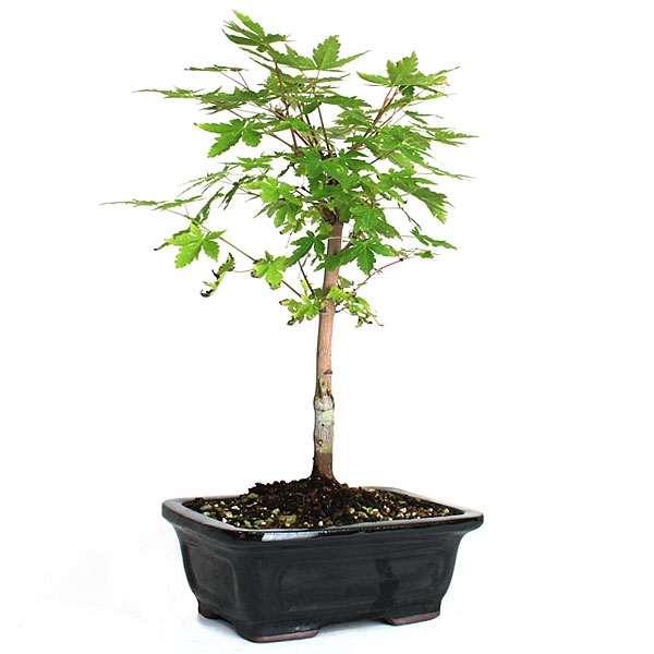 Japanese Coral Bark Maple Bonsai