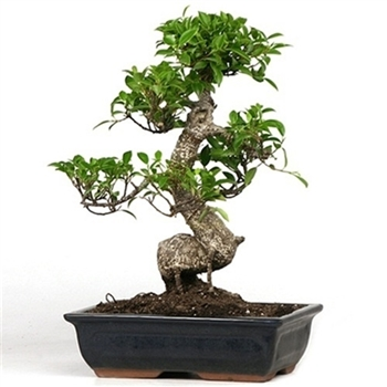 Taiwan Ficus Bonsai Tree