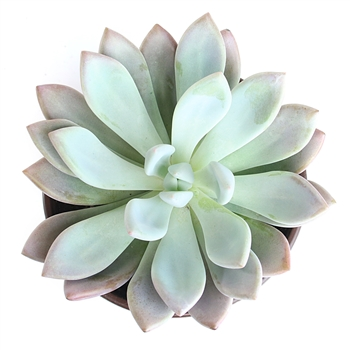Graptoveria 'Moonglow'