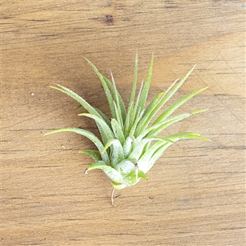 Air Plants Tillandsia Ionantha Rubra