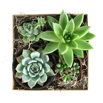 Square Succulent Gift Box