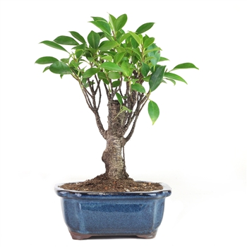 Shohin Golden Gate Ficus