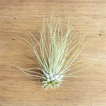 Air Plants Tillandsia Fuchsii v. gracillis