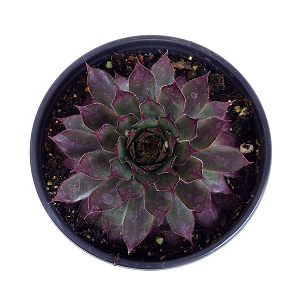 Sempervivum 'Viking'
