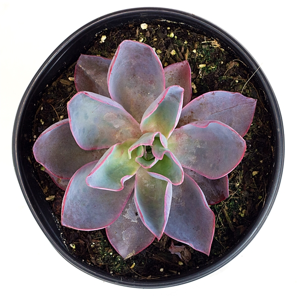Echeveria 'Afterglow'
