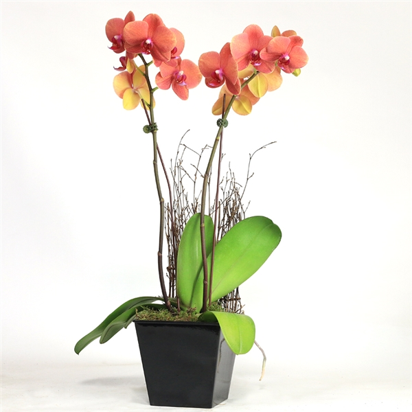 Double Spike Phalaenopsis with Wood Screen