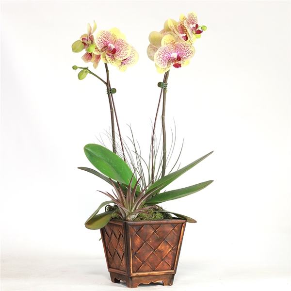 Double Spike Phalaenopsis with Whimsical Air Plants