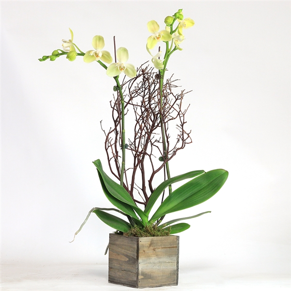 Phalaenopsis with Manzanita Branch