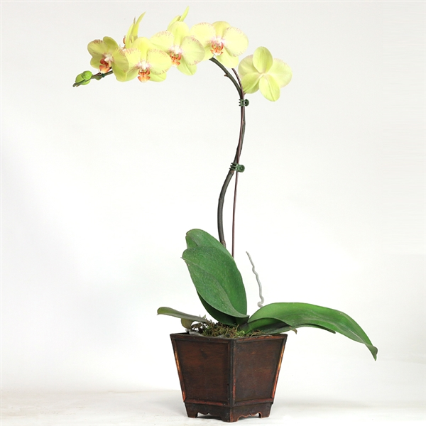 Yellow Phalaenopsis in Wooden Box