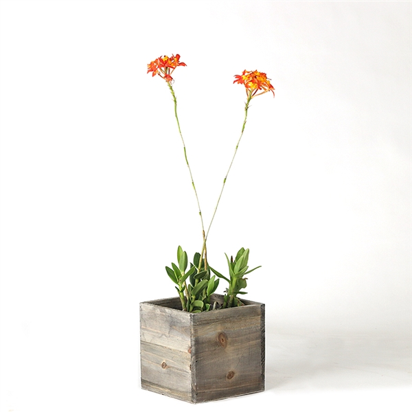 Epidendrum - Orange
