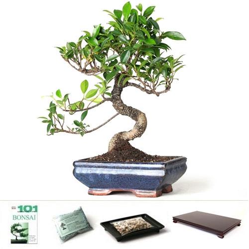 Golden Gate Ficus Bonsai Tree Gift Set From Easternleaf Com