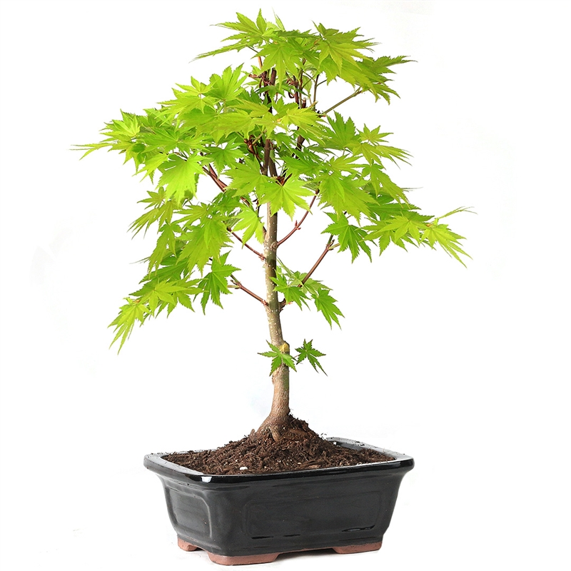 Full Moon Maple Bonsai