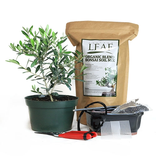 Olive Pre-Bonsai DIY Potting Kit