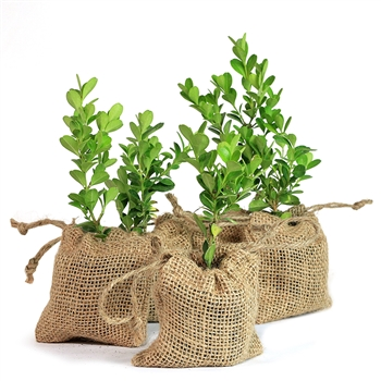Boxwood Tree Plant Favor - Burlap Pouch