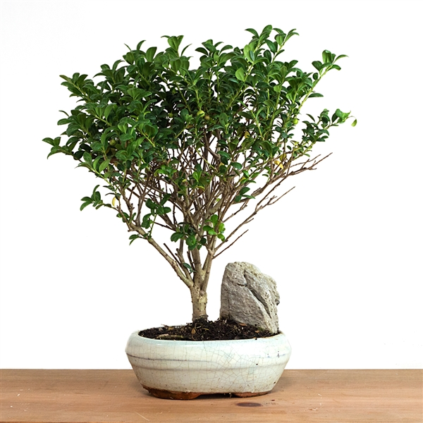Miniature Fruiting Olive Bonsai