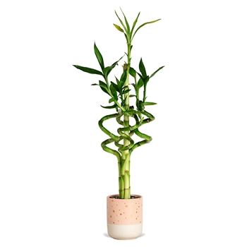 Lucky Bamboo Arrangement - Spiral Dot <!-- Lucky Bamboo -->