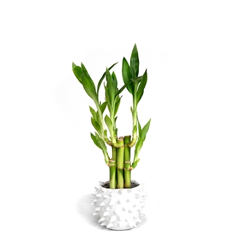 Lucky Bamboo Arrangement - Prickly Pot <!-- Lucky Bamboo -->