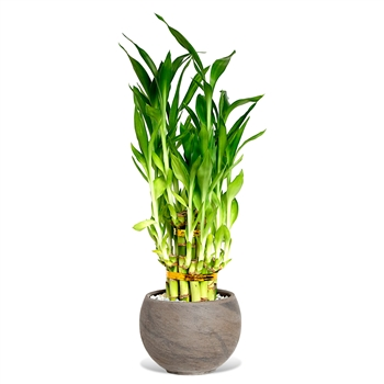 Lucky Bamboo Arrangement - Tiered Coco Bowl <!-- Lucky Bamboo -->
