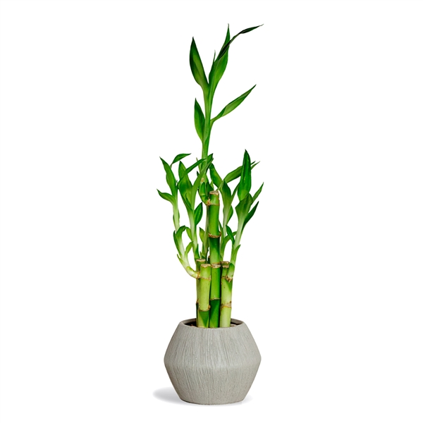 Lucky Bamboo Arrangement - Brushed Geometric Vase <!-- Lucky Bamboo -->