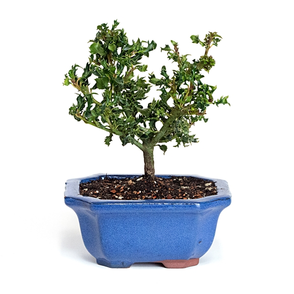 Mini Dwarf Holly Bonsai