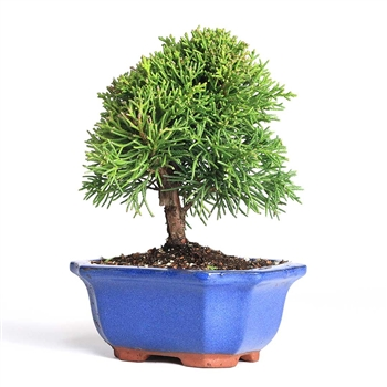 Bonsai - Shimpaku Juniper Bonsai Tree
