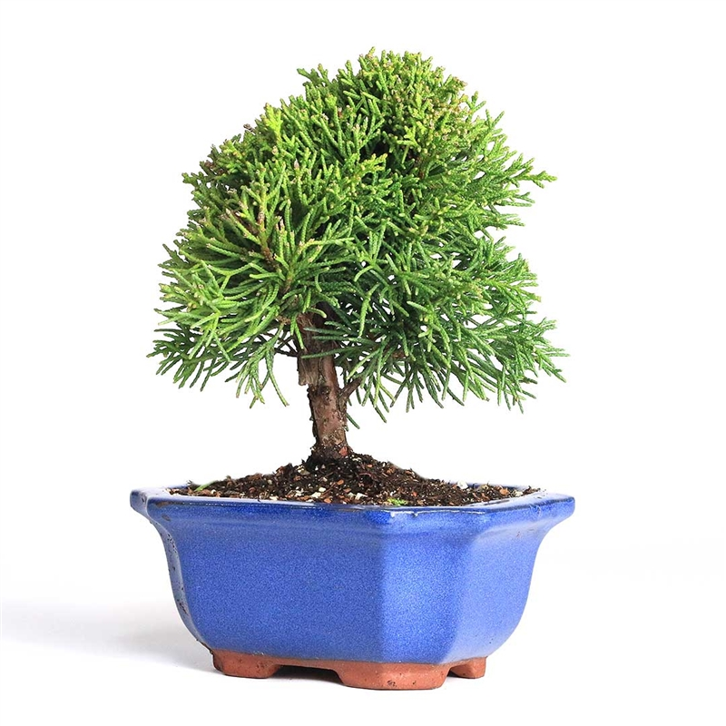 Bonsai Shimpaku Juniper Bonsai Tree From Easternleaf Com The Nobel Prized Tree Of The Bonsai S The Simpaku Juniper Bonsai Has Bight Green Soft Foliage And A Beautiful Red Brown Bark This Tree Is