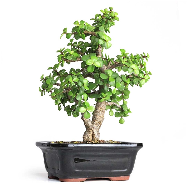 Cork Bark Jade Bonsai