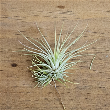 Air Plants Tillandsia Andreana