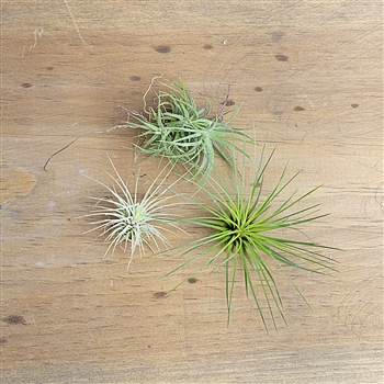 Funky 3 Air Plant Set