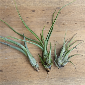 Twisty & Curly Air Plant Set
