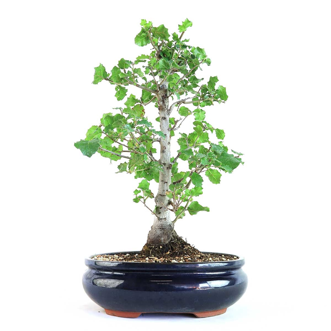 Large Oak Bonsai Tree