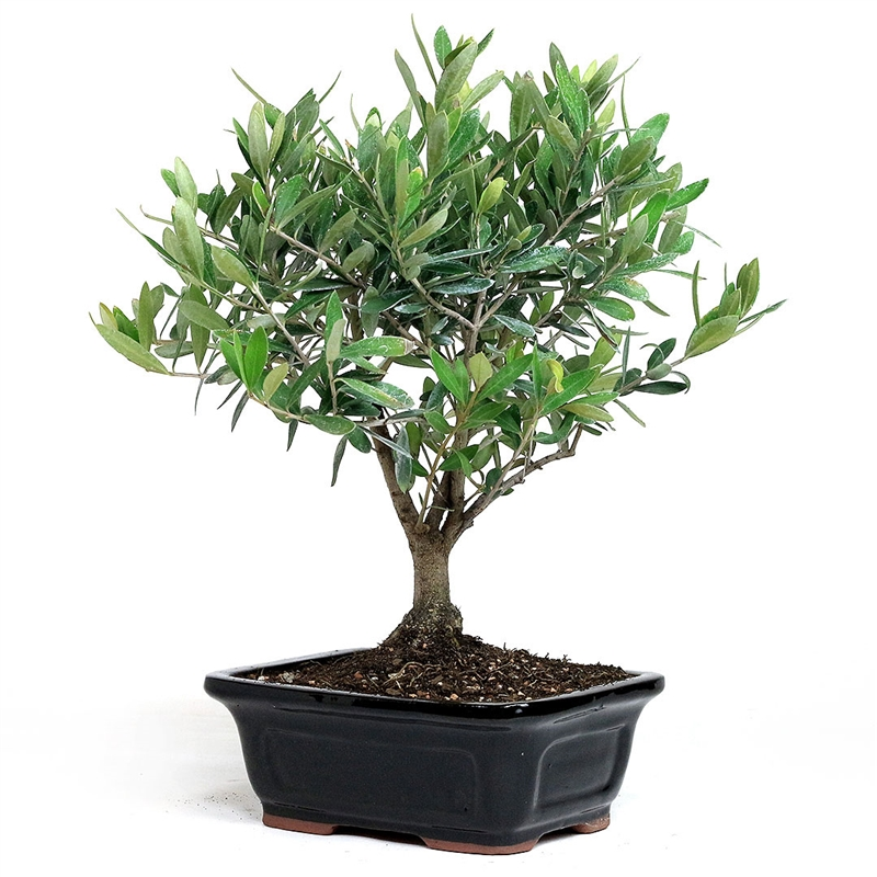 Bonsai Little Ollie Olive Bonsai From Easternleaf Com Olive Flowering Bonsai Tree Have A Strong Trunk Growth Fine Roots And Ability To Produce Fruit With Proper Care Bonsai Flowers Can Tolerate Many