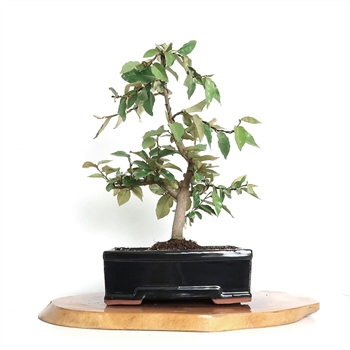 Silverberry Bonsai