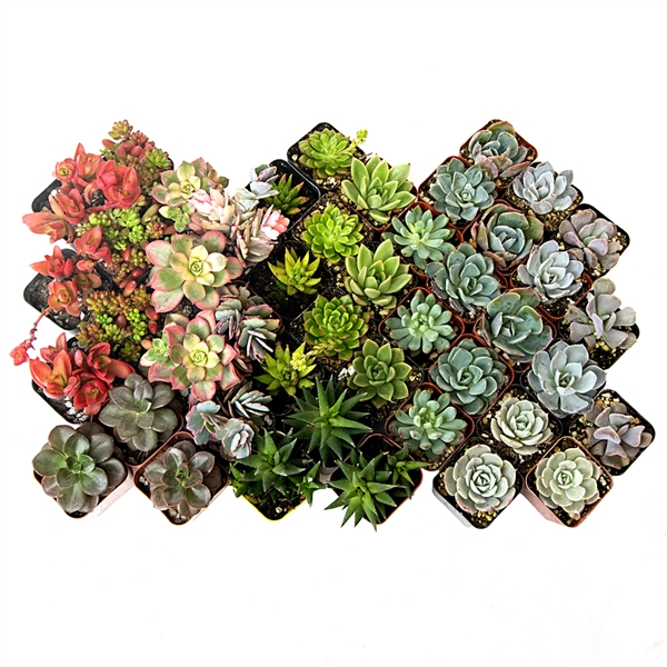 Succulent Assortment - Variety Pack