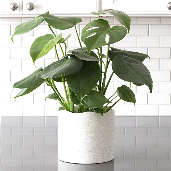 Monstera deliciosa in Zen Wave Planter