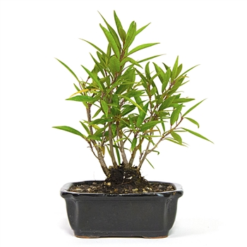 Bonsai - Narrow-Leaf Ficus Grove