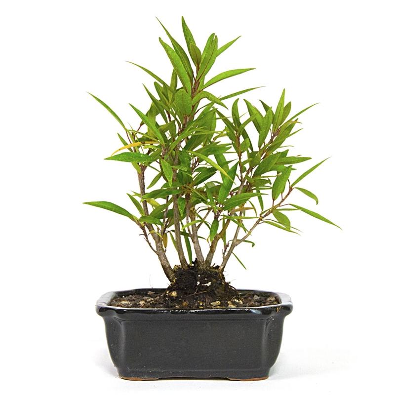 Bonsai Narrow Leaf Ficus Grove Bonsai From Easternleaf Com