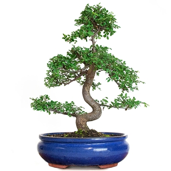 Showcase Chinese Elm Bonsai