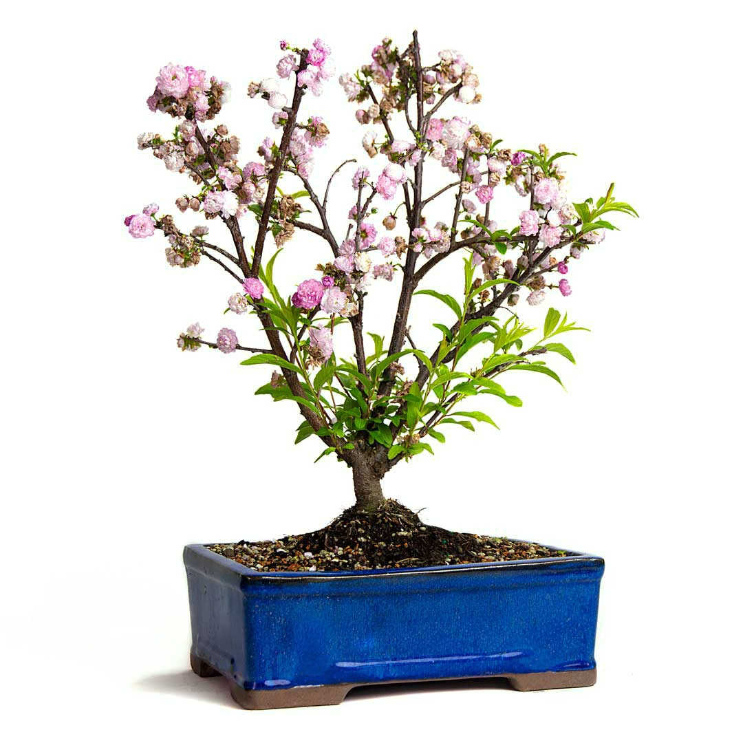 Pink Flowering Almond Bonsai