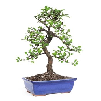 Buy Bonsai Trees Online Indoor Bonsai Plants For Sale
