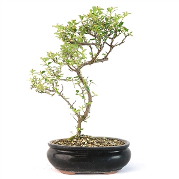 Trained Cotoneaster Bonsai