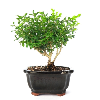 Littleleaf Minature Boxwood Bonsai