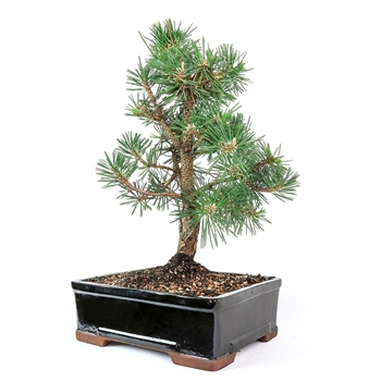Large Japanese Black Pine Bonsai