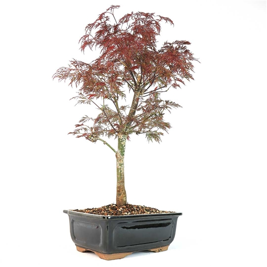 Japanese Laceleaf Maple
