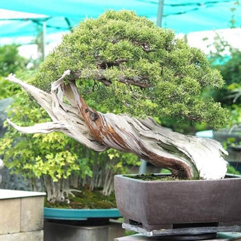 Bonsai Jidai: School of Bonsai