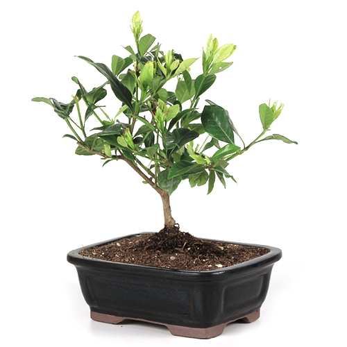 Amazing Gardenia Bonsai