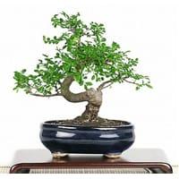 Bonsai And Bonsai Trees Supplies