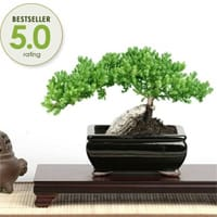 Buy Bonsai Trees Online | Indoor Bonsai Plants for Sale